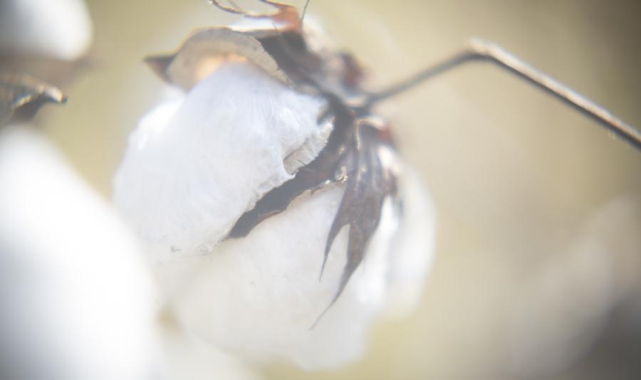 Rinne allen   cotton picking  11 12 9104 %2868%29
